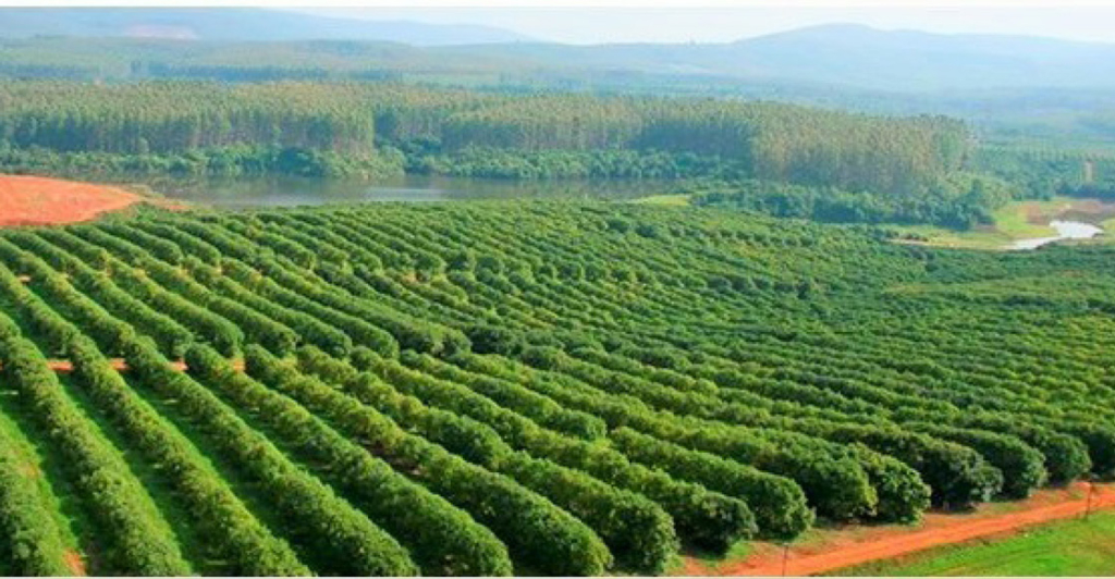 Avocado Fields