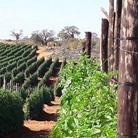 tomato crops
