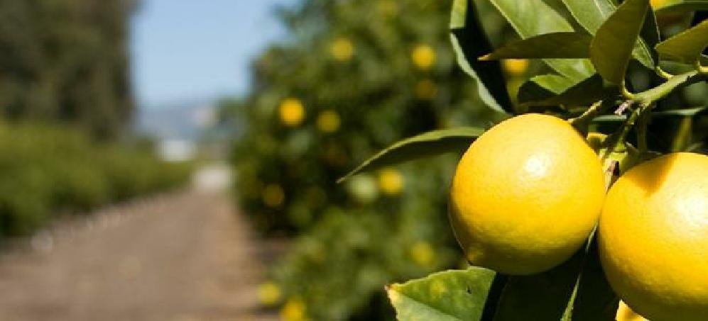 Ripe Citrus